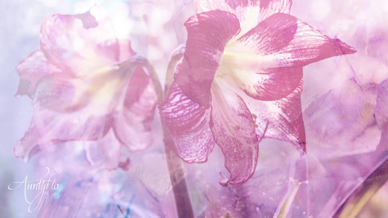 Amaryllis Flower Meaning Dictionary Auntyflo Com