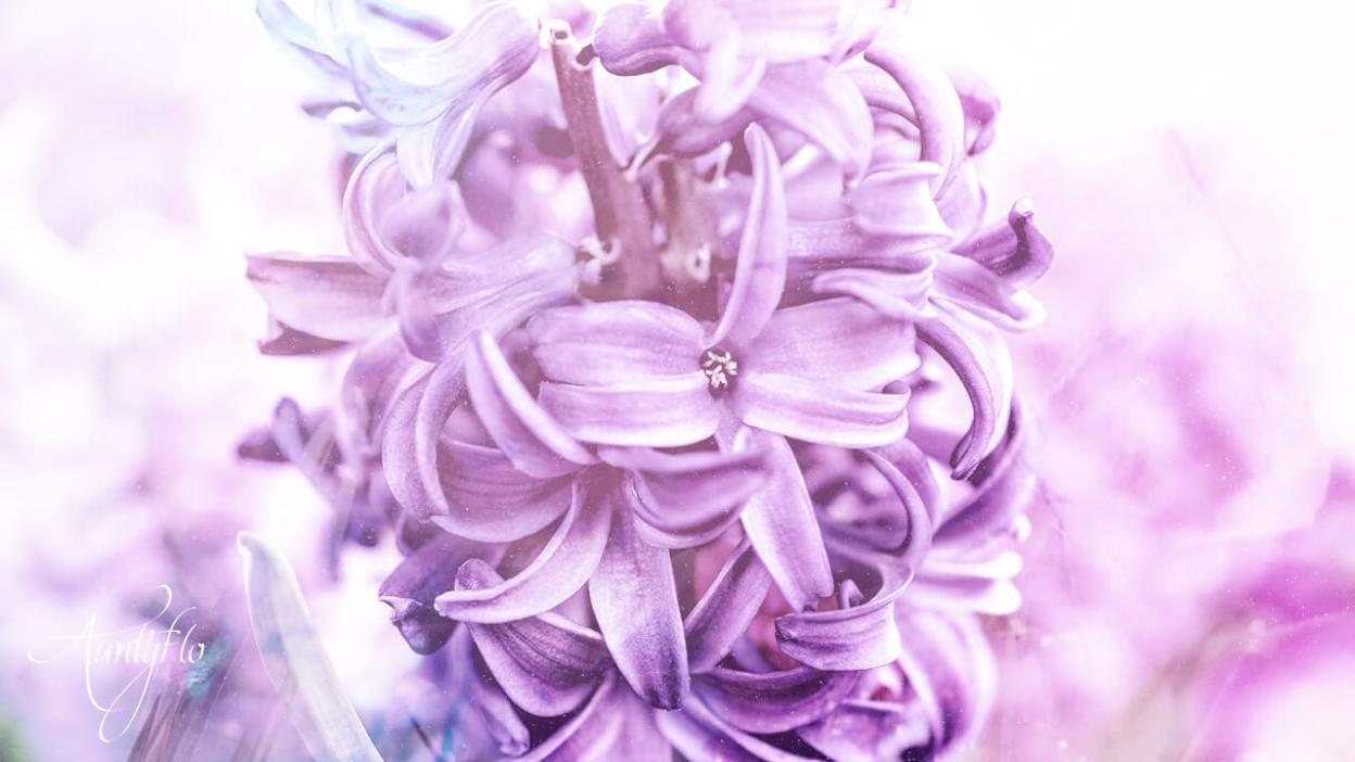 Purple Hyacinth Meaning