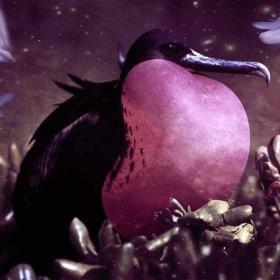 Frigate Bird Animal Totem