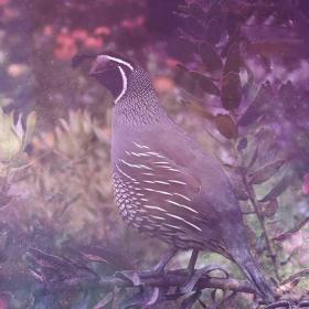 Quail Animal Totem