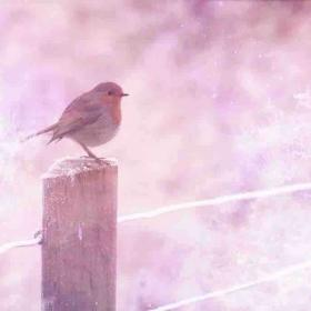 Robin Animal Meaning